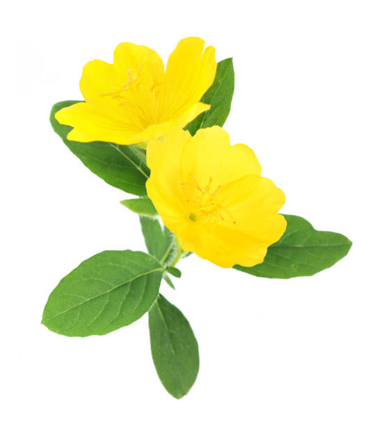 primrose yellow primrose oenothera frutcosa flower isolated on white primula stock pictures, royalty-free photos & images