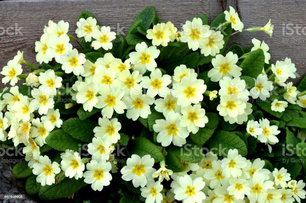 Primrose (Primula vulgaris) stock photo