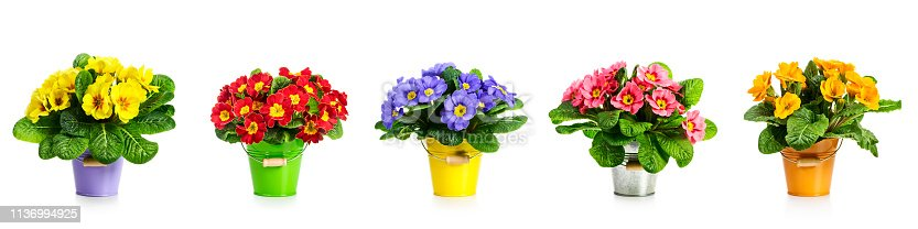 istock Primrose primula spring flowers banner 1136994925