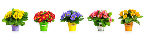 Primrose primula spring flowers banner Primrose primula  spring flowers in bucket collection isolated on white background. Flower arrangement. Floral design elements banner primula stock pictures, royalty-free photos & images