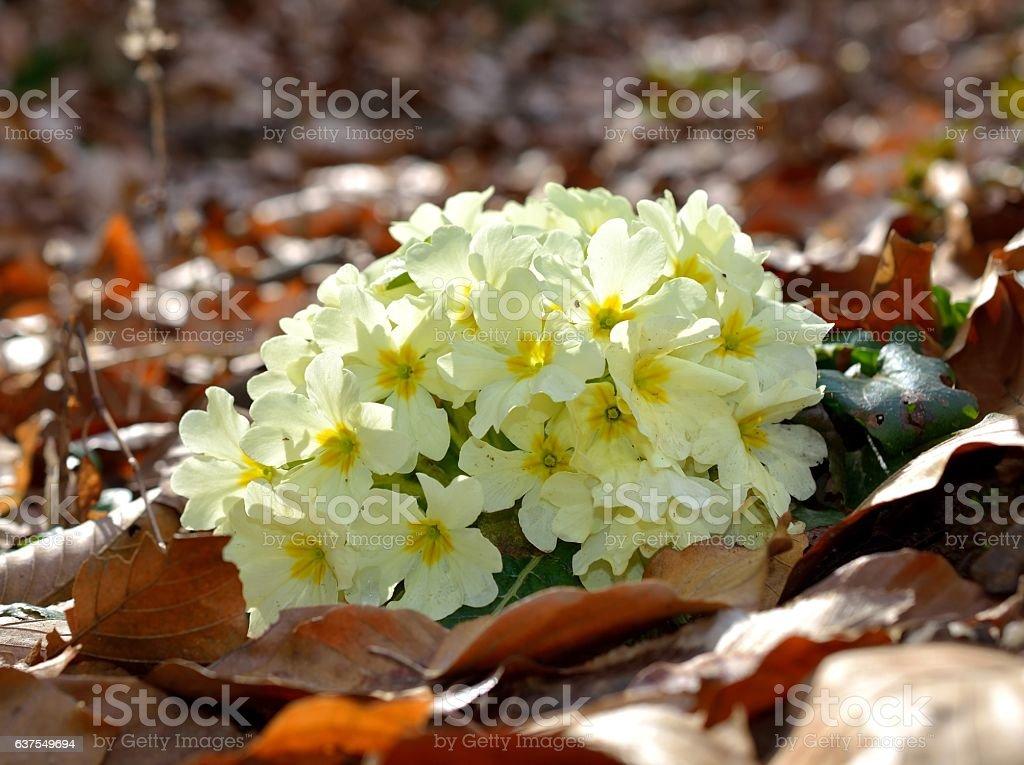 Primrose - Primula vulgaris stock photo