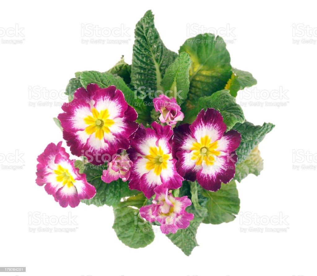 primrose top view royalty-free stock photo