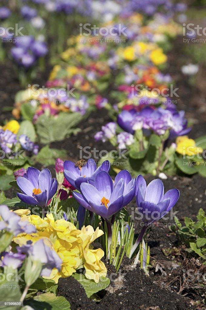 Primroses and purple crocuses royalty-free stock photo