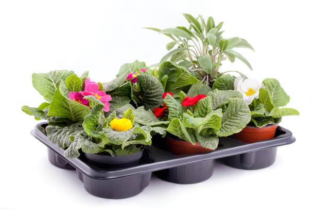 primroses and sage - angiospermas imagens e fotografias de stock