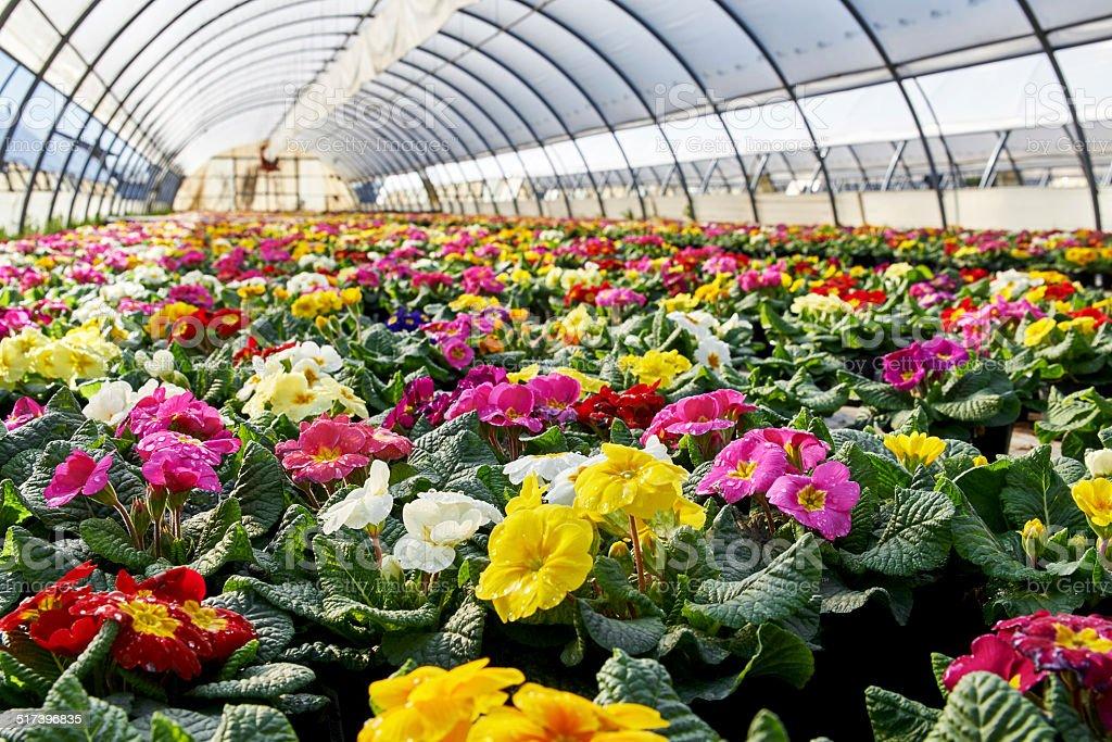 Primroses colture stock photo