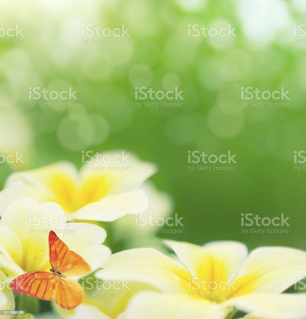Primroses em bloom - foto de acervo