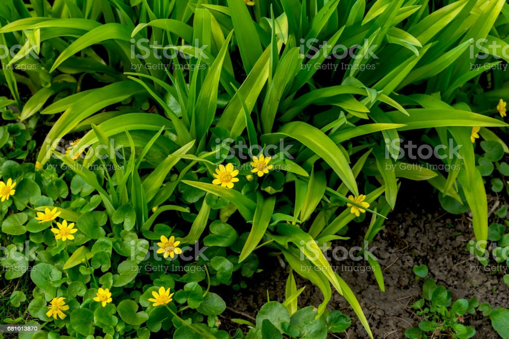 Primroses in forest, Buttercup spring, Ficaria verna, top view. Natural organic background. First spring plants, seasons. Modern wallpaper, green and yellow color royalty-free stock photo