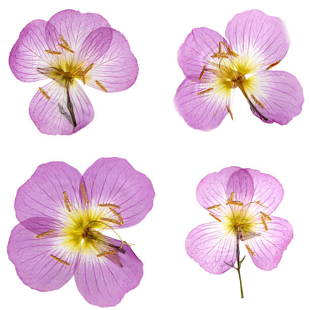Primroses Isolated on White XXXL Image of four pink/purple pressed/dried primroses isolated on a white background. Great design elements. See more images utilizing these flowers in my portfolio. primula stock pictures, royalty-free photos & images
