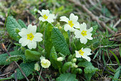A small bunch of primroses in their natural habitat on the woodland floor.