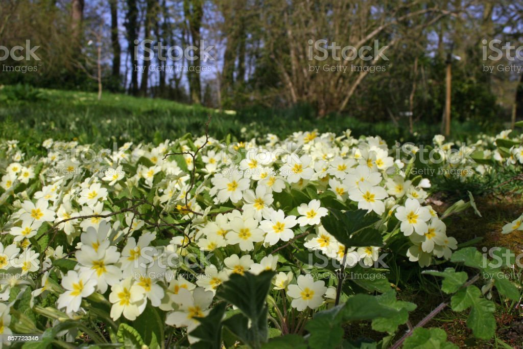 Primroses on woodland edge stock photo