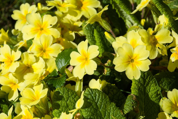 Primroses outdoors Primroses outdoors primula stock pictures, royalty-free photos & images