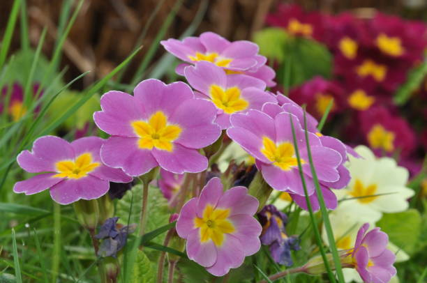Primroses Primroses primula stock pictures, royalty-free photos & images