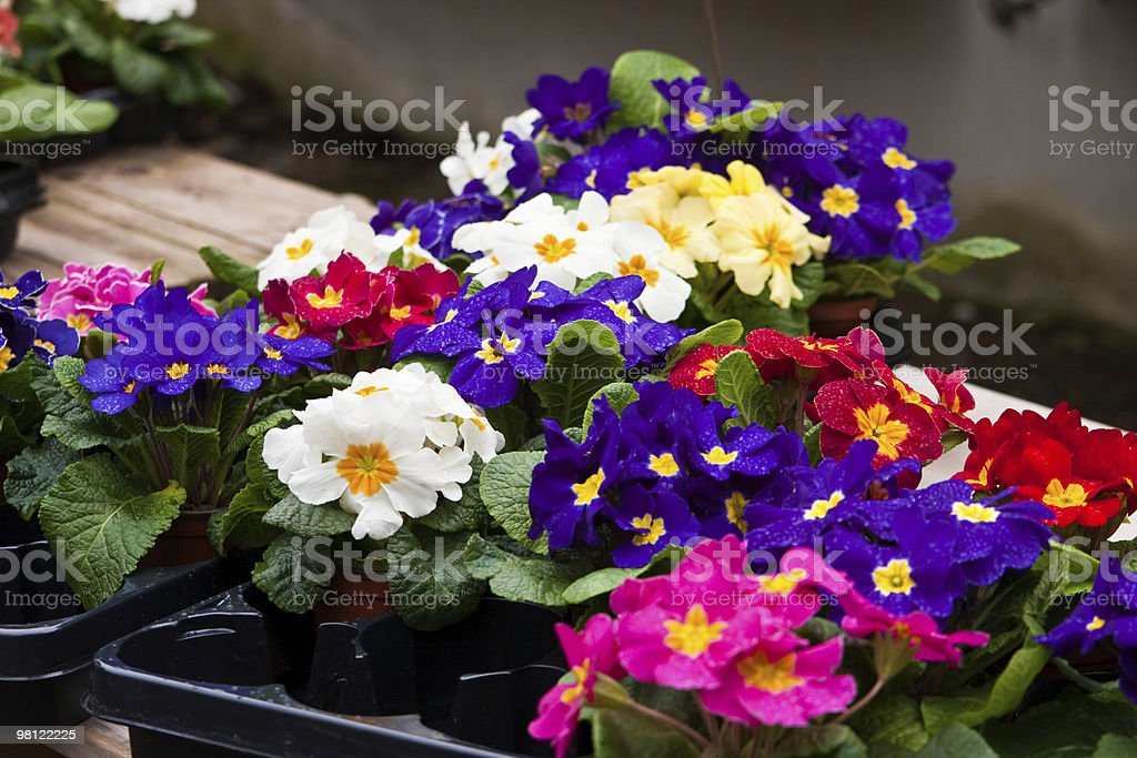 primroses royalty-free stock photo