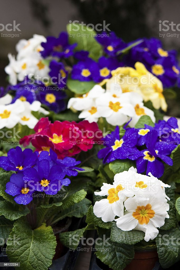 primroses royalty-free stock photo