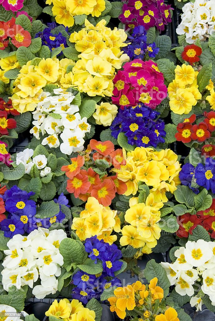 primroses royalty-free 스톡 사진
