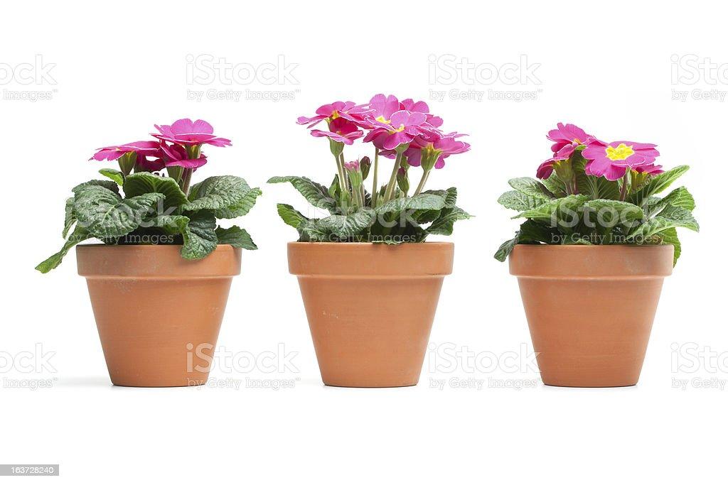 Primroses, Primula stock photo