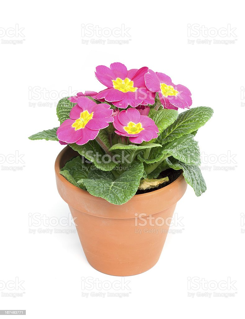 Primroses, Primula royalty-free stock photo