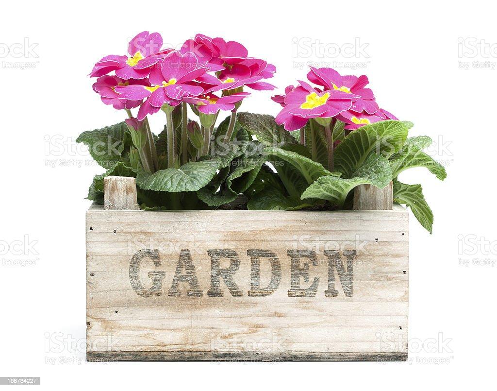 Primroses, Primula royalty-free stock photo