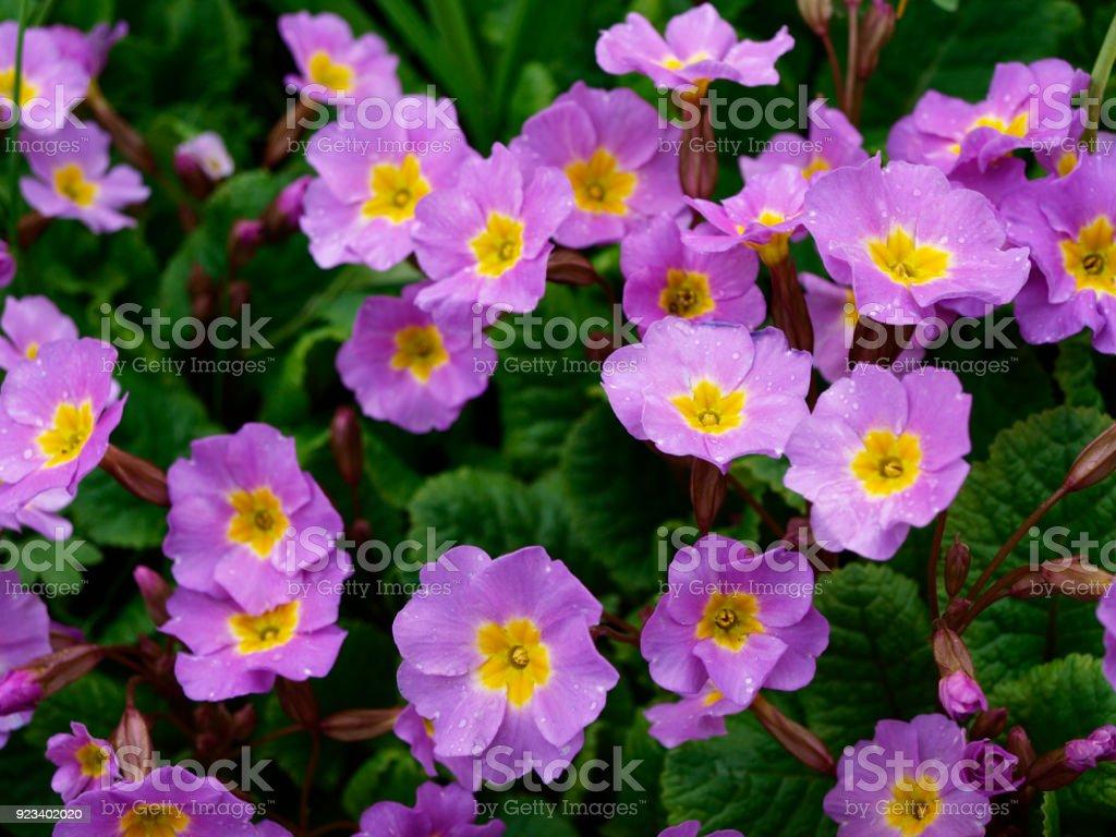 Primula acaulis purple flowers with green stock photo