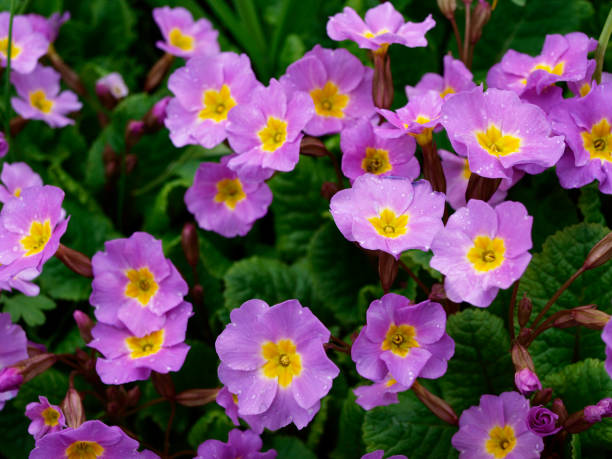 Primula acaulis purple flowers with green Primula acaulis purple flowers with green primula stock pictures, royalty-free photos & images
