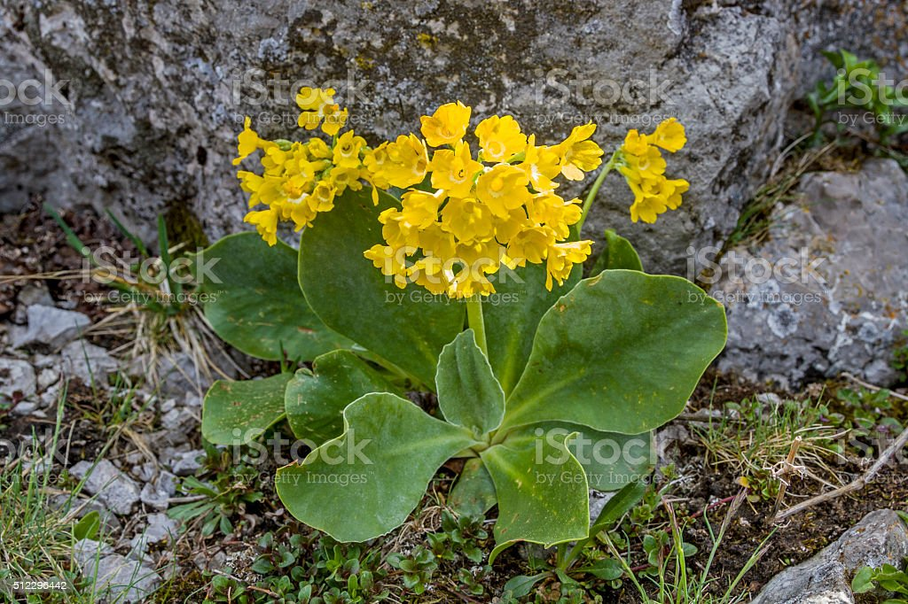 primula auricula in mountains stock photo