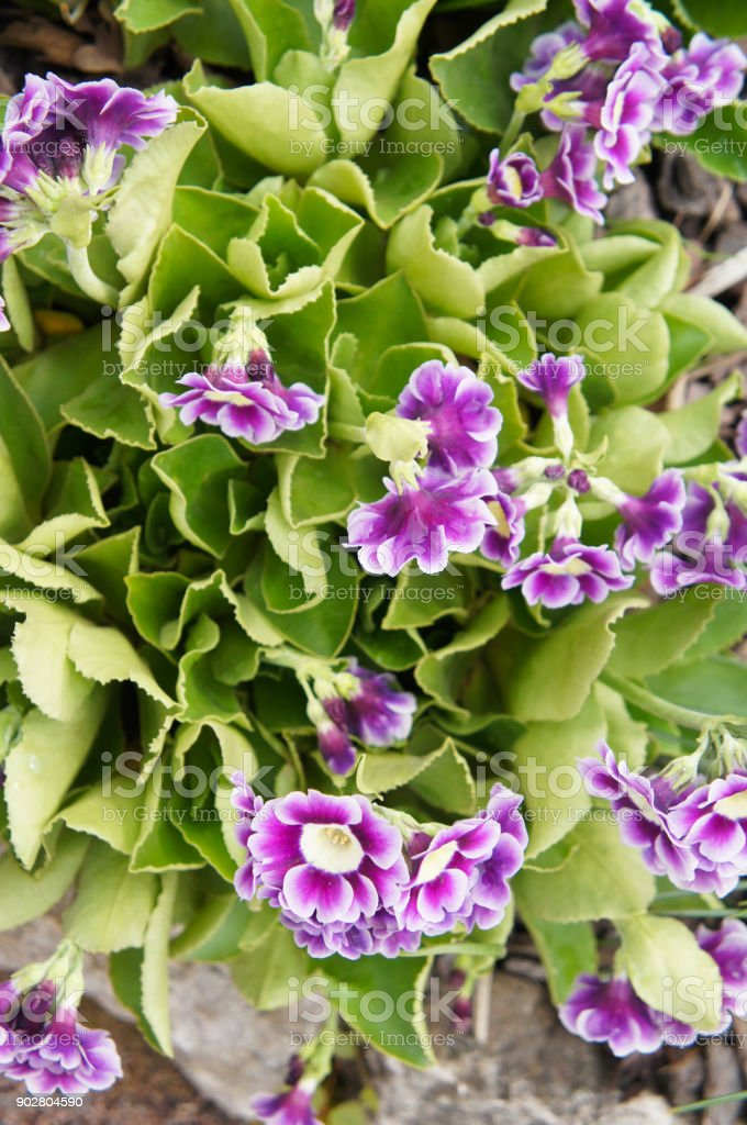 Primula auricula purple flowers with green stock photo