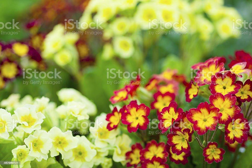 Primula elatior mix stock photo