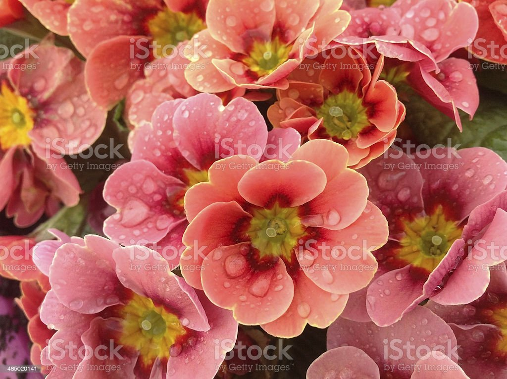 Primula flower after the rain royalty-free stock photo