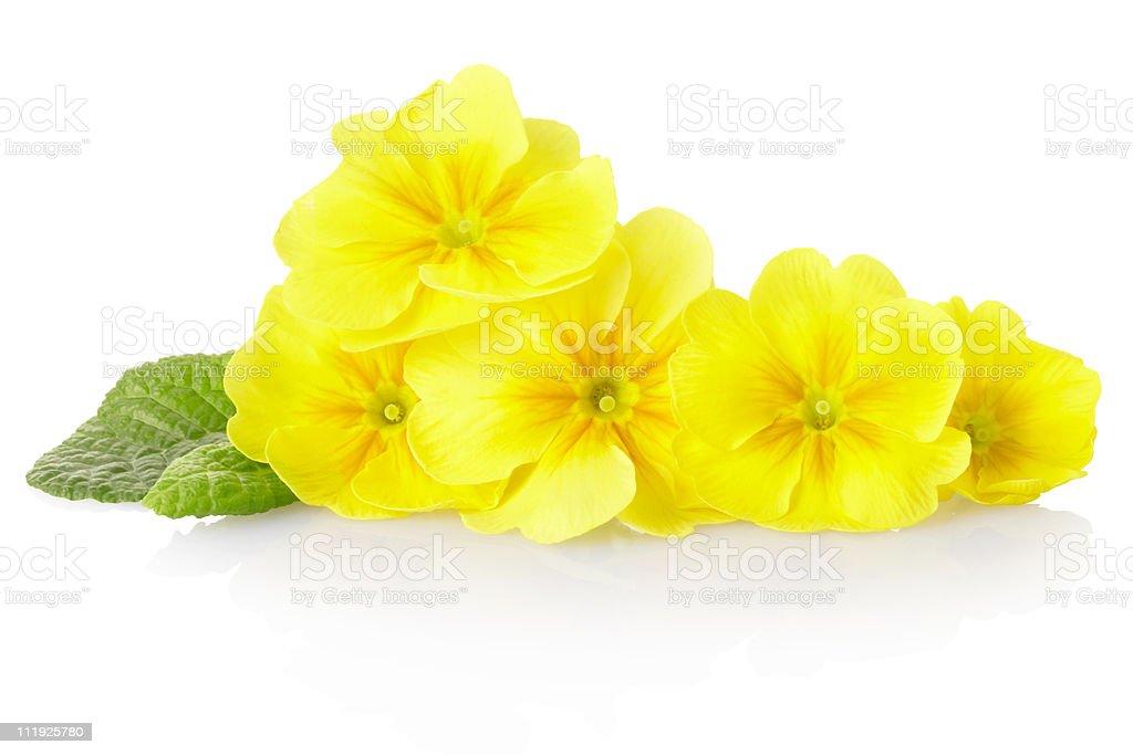 Primula flower arrangement stock photo