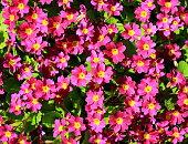 Primrose Primula Vulgaris. Joyful easter spring background with blooming pink primulas. Top view