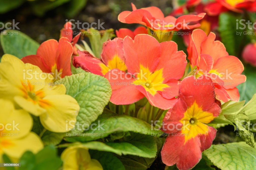 Primula flower on flowebed royalty-free stock photo