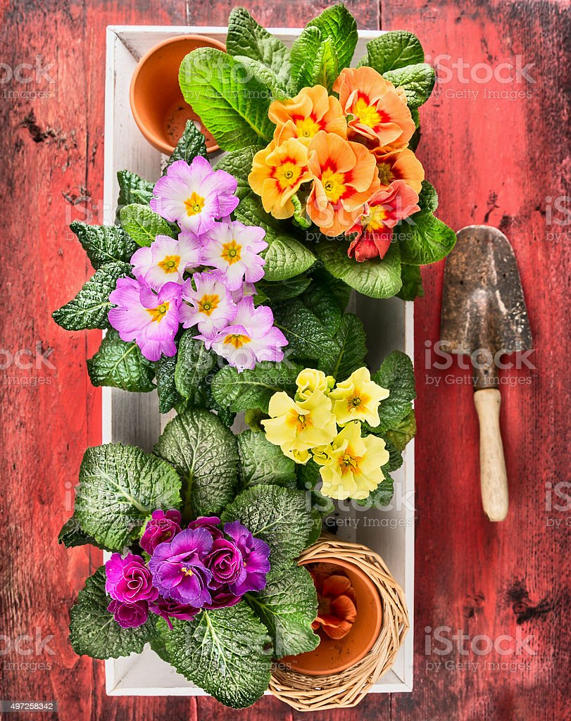 Primula flowers and scoop on red wooden background stock photo
