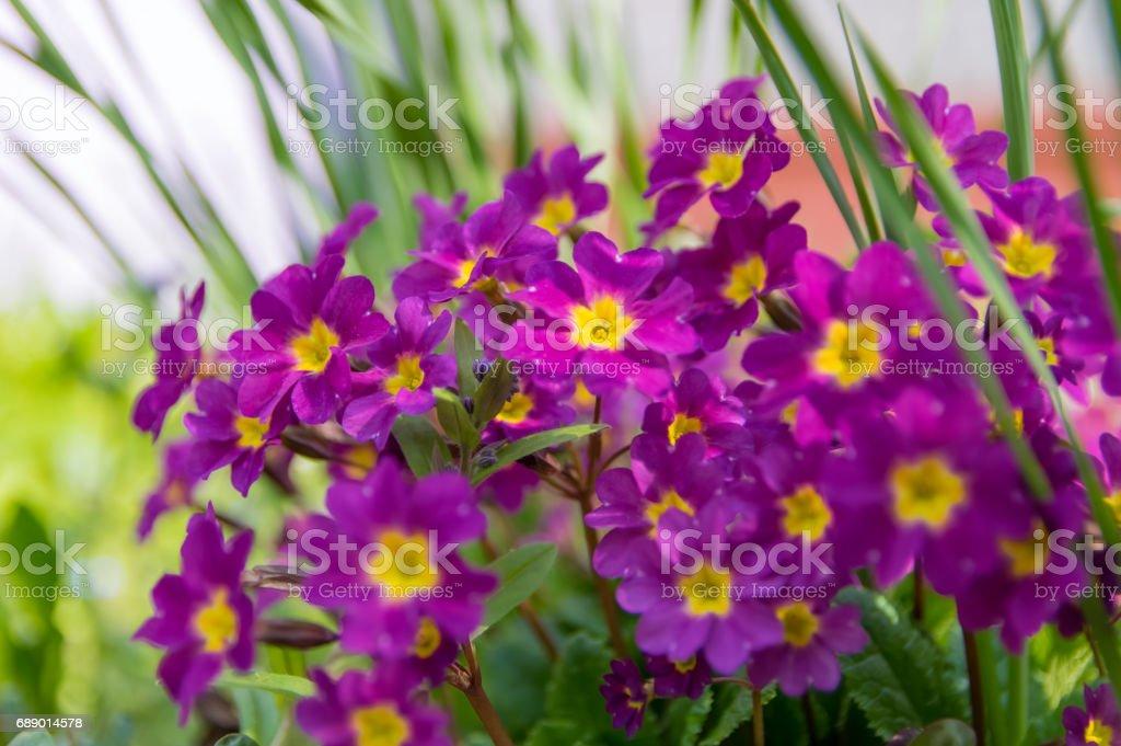 Primula flowers close-up, purple. stock photo