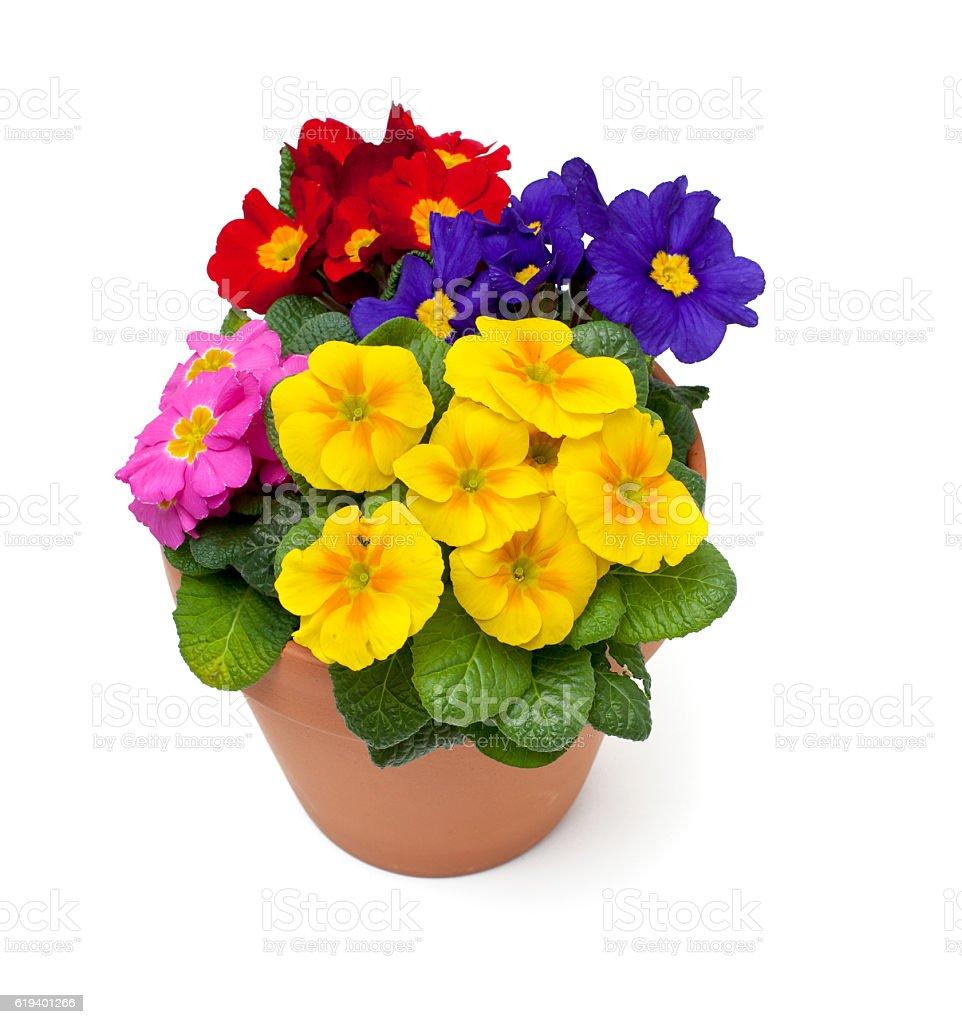 primula flowers in pot stock photo