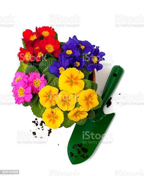 Primula flowers in pot picture id628194608?b=1&k=6&m=628194608&s=612x612&h=gt4r1onli4h8asjpvgdeejcddbxdaatyshsd81j  bw=