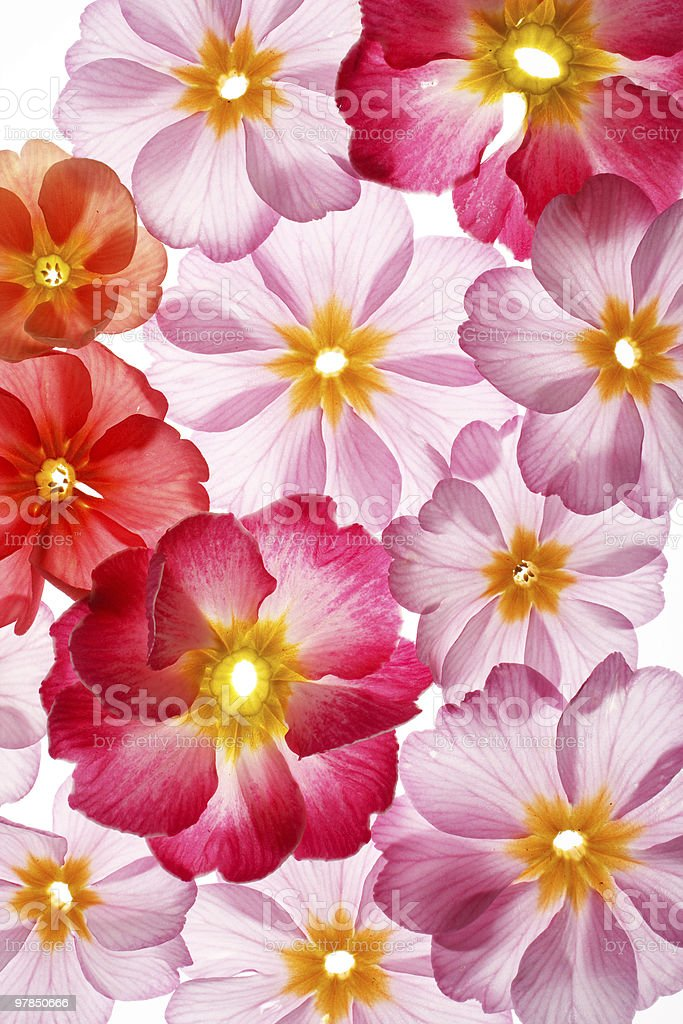 primula flowers on the white background royalty-free stock photo