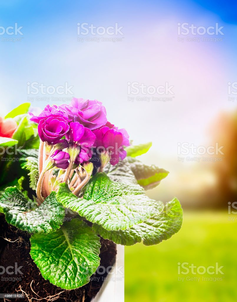 primula in flowers pot on spring nature background. Gardening concept stock photo