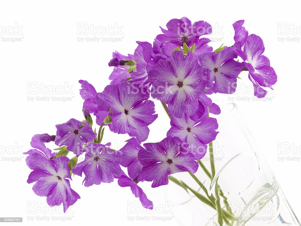 Primula in glass royalty-free stock photo