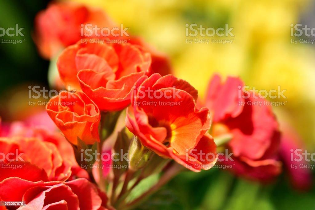 Primula julian / Primrose stock photo