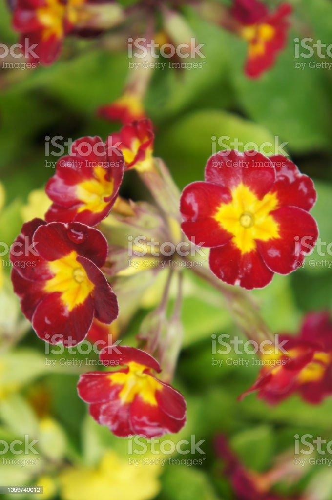 Primula O Primavera De Flores De Color Rojo Con Base Amarilla Con Verde Vertical Foto De Stock Y Más Banco De Imágenes De Amarillo Color Istock