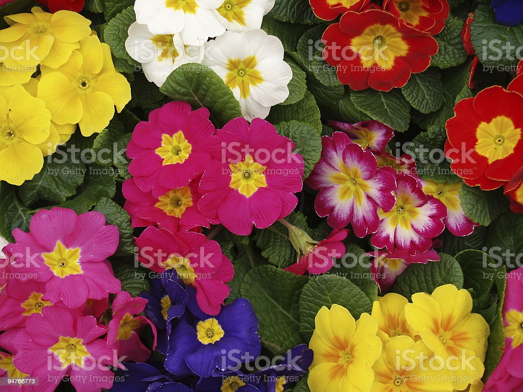 primula royalty-free stock photo
