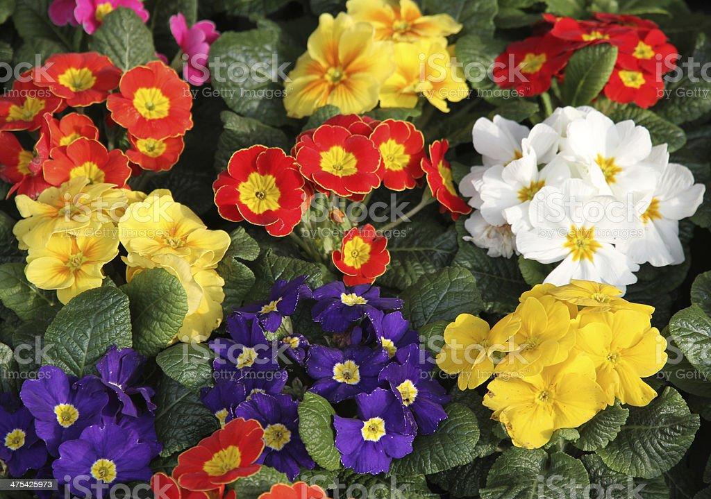 primula vases on sale at flowermarket stock photo