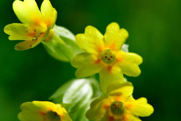 Primula veris or cowslip flower in nature reserve Galovske luky stock photo