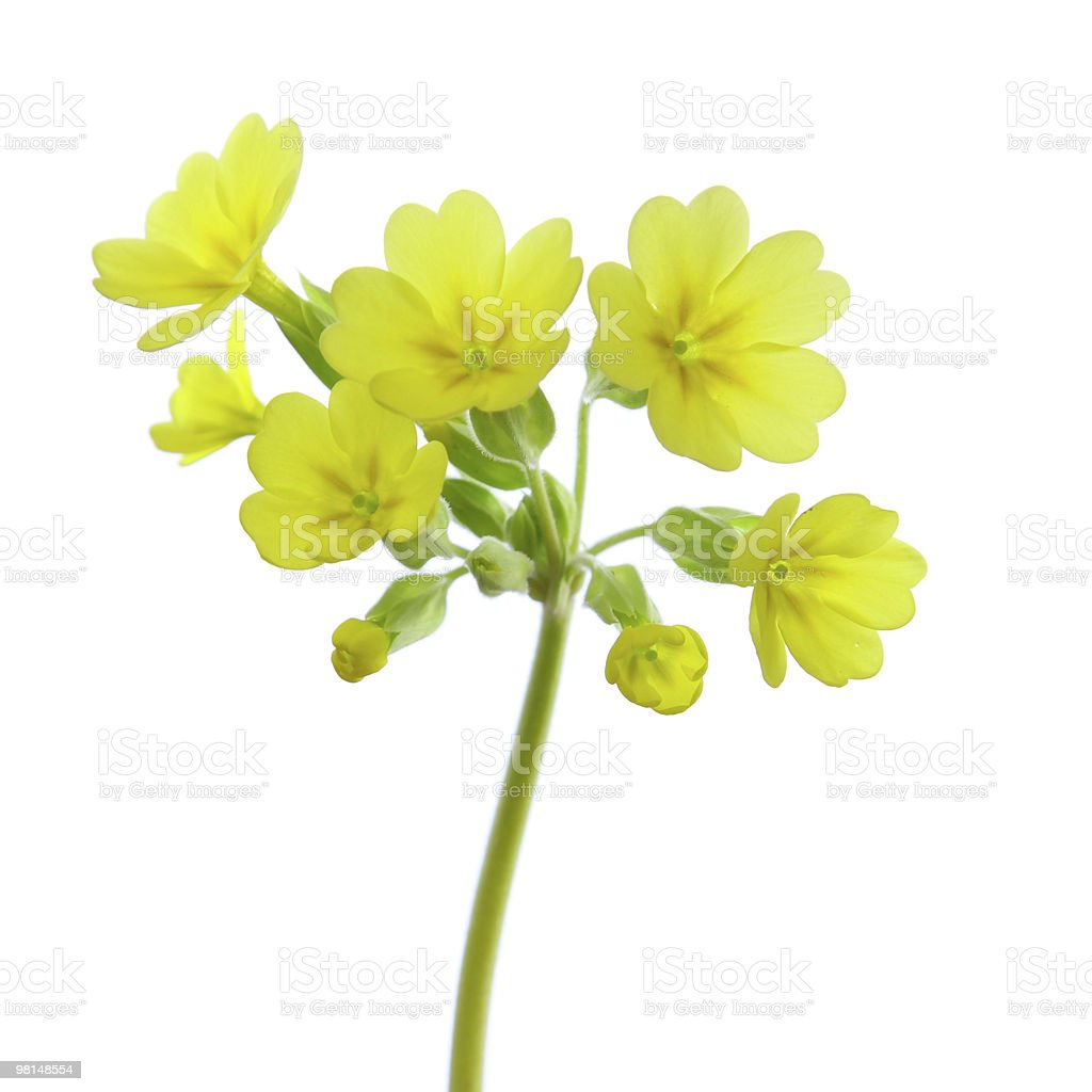 Primula veris,cowslip royalty-free stock photo