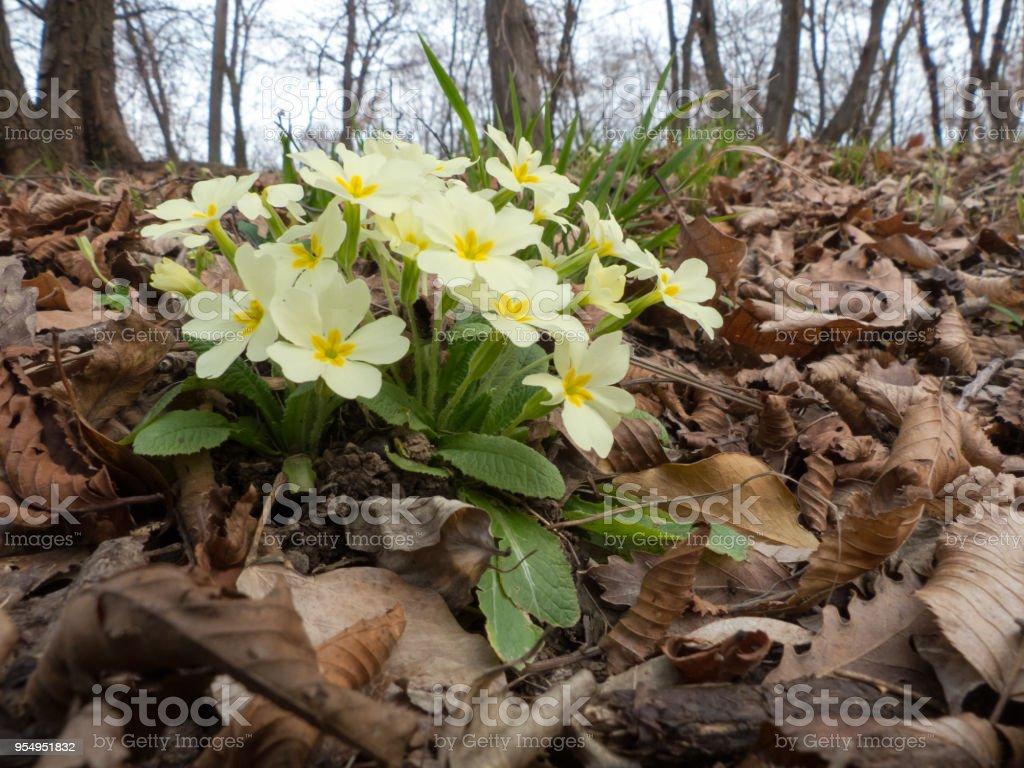 Primula vulgaris - foto stock