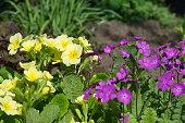 Blooming primroses in the spring flower bed