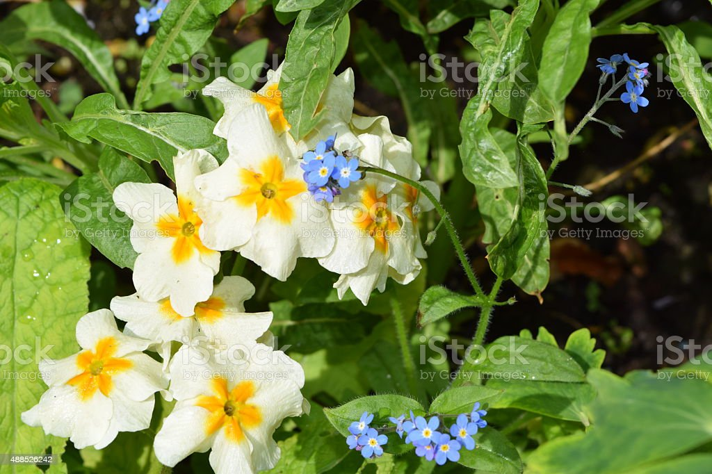 Primula, white and yellow, forget-me-nots, blue stock photo