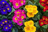 'Primula, please see also my other garden flowers in my lightbox:'