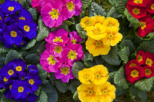 "Primula # 1 XXXL ""Primula, please see also my other garden flowers in my lightbox:"" primula stock pictures, royalty-free photos & images"