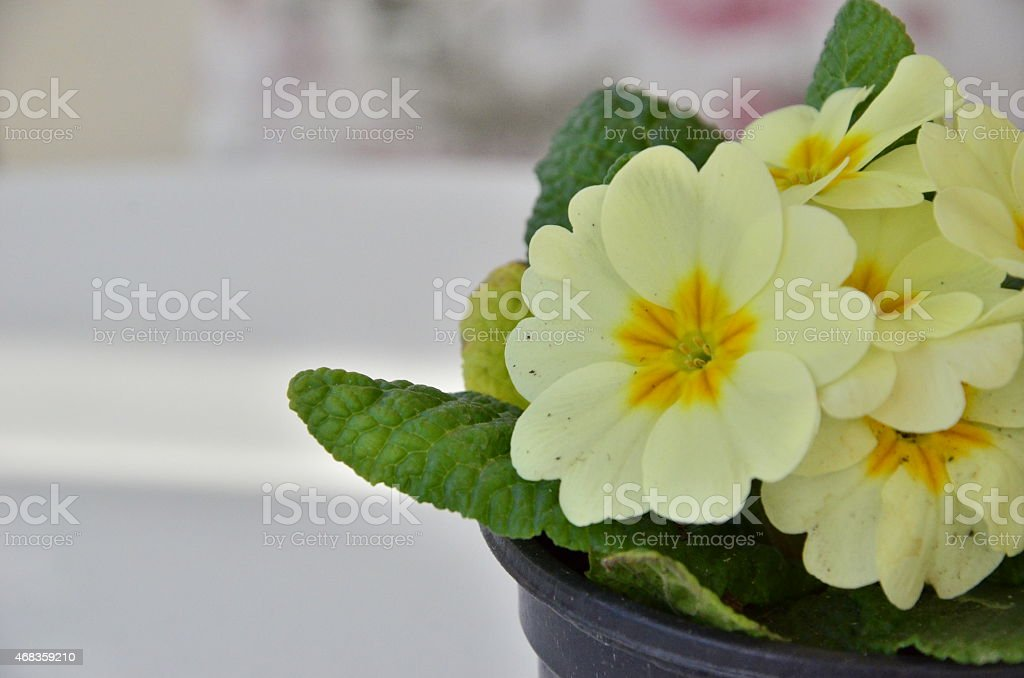 Primula-Polyantha royalty-free stock photo